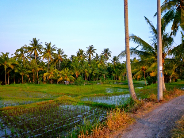 ricefields-3