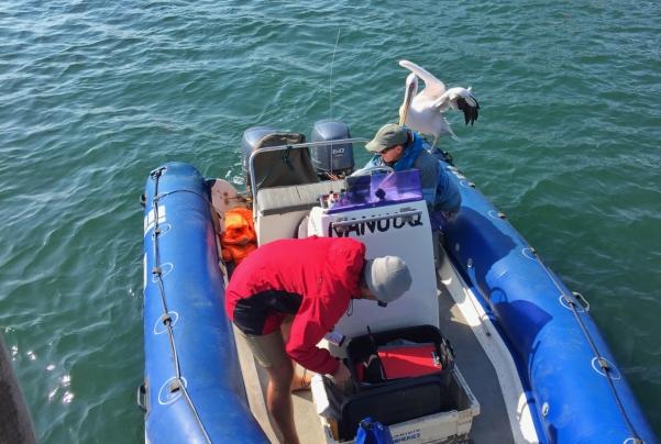 pelicanboat