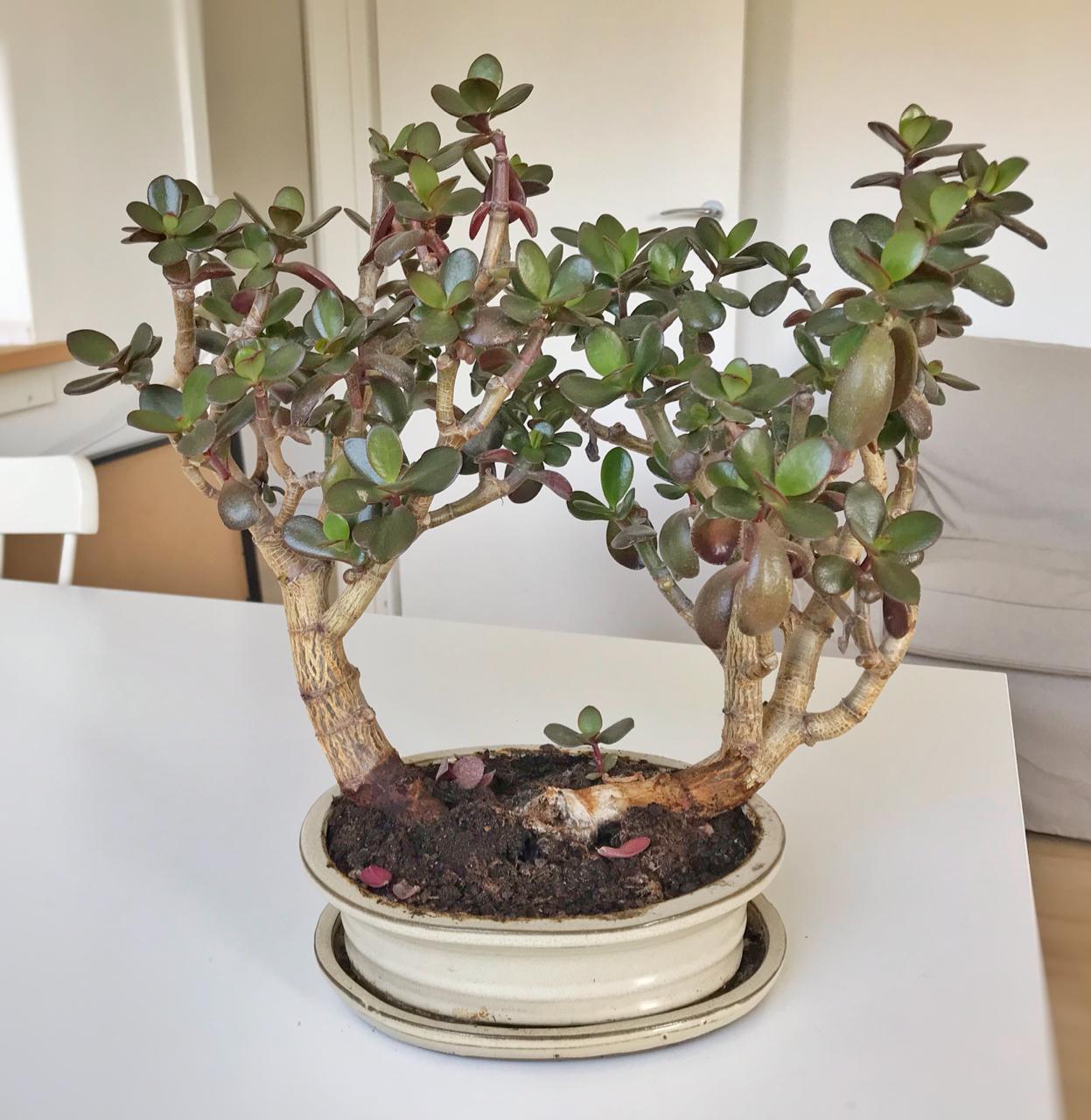 bonsai2020